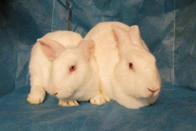 这只转基因克隆兔携带有绿色荧光蛋白基因,为今后大规模转基因兔动物