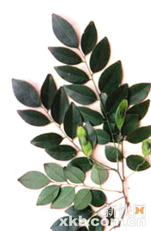 降香黄檀的树叶是这个样子的.