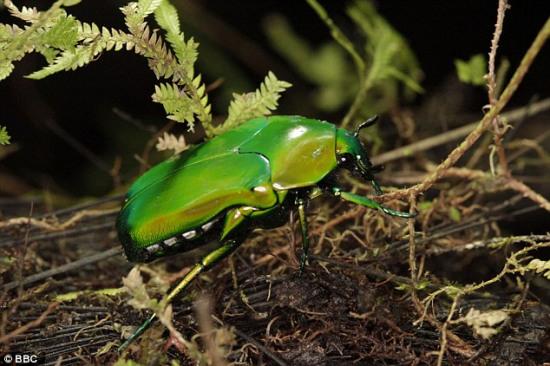 疯狂动物园甲虫