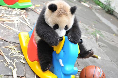 壁纸 大熊猫 动物 狗 狗狗 500_333