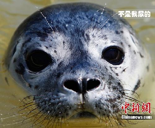 2010年6月16日德国北部,一只小海豹在动物园内的游池中游水.