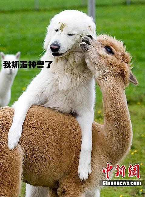 超写实素描动物羊驼