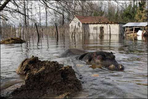 欧洲巴尔干半岛暴雨成灾 动物园河马出逃