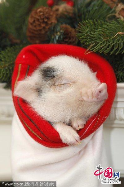 英国:袖珍宠物猪做圣诞礼物悄然流行