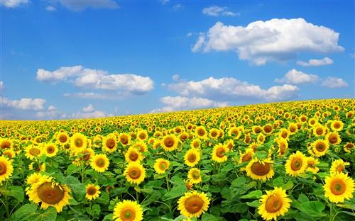 全高清壁纸推荐:向日葵