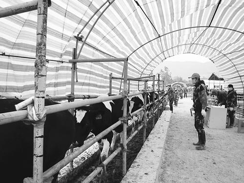 """进口奶牛在隔离检疫场里享用春节""""大餐"""""""