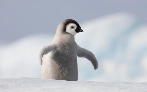 生活在南极的企鹅一直是广大朋友们喜欢的小动物