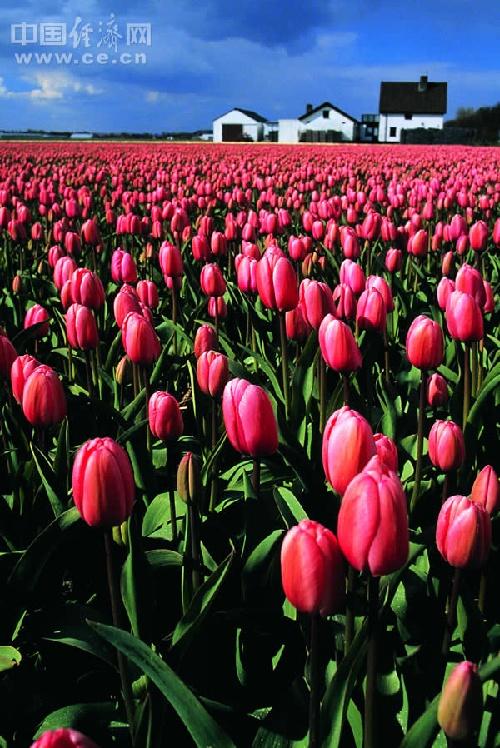 荷兰 拥有世界上最美丽的春天