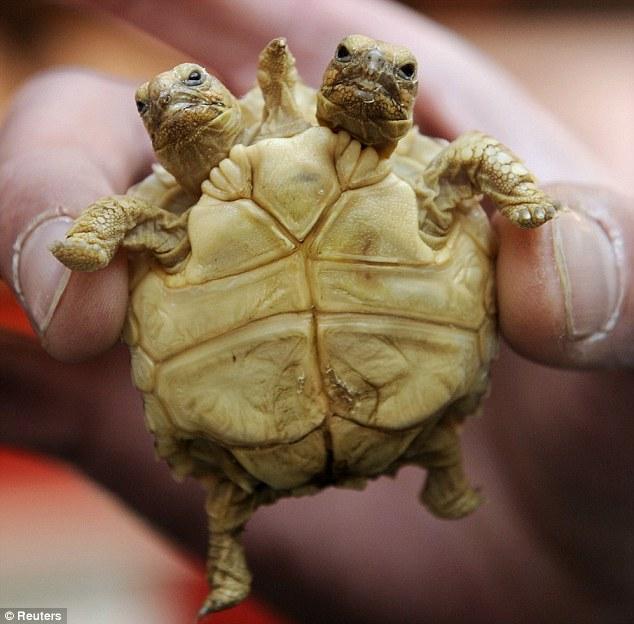 实际上,苏卡达龟是大陆型陆龟中体型最大的,仅次于两种海岛型陆龟加拉