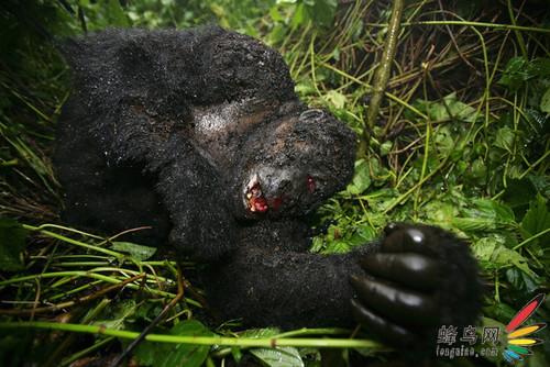记录:山地大猩猩惨死