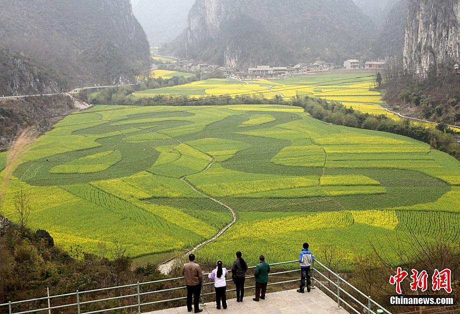 3月8日,在贵州省安顺市龙宫风景区大片金色的油菜花丛中,一个由种植的