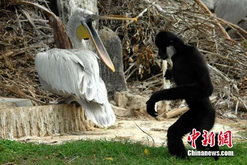 深圳野生动物园里鹈鹕与长臂猿成为好朋友