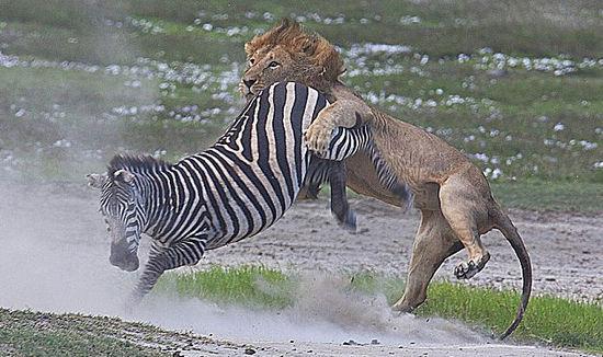 在动画大片《马达加斯加》中,饥饿的狮子亚历克斯瞄上了斑马马蒂,想把它当成下顿美餐,但最后没有成功。电影中的这一幕日前在坦桑尼亚的恩戈罗恩戈罗保护区上演,英国野生动物爱好者托马斯惠滕在吉普车里拍到了雄狮被斑马暴踢的画面。   据英国《每日邮报》3月30日的报道,一头斑马当时正在草原上闲逛,对潜伏在草丛中的狮子浑然不觉。突然一头雄狮从草丛里窜出朝它扑去,惊悸的斑马狂奔而逃。但狮子很快就追赶上来,扑上斑马背并咬住了其皮肉。但斑马并没有束手就擒,而是勇敢地拼命还击。它蹦跳、躲闪、摇摆,努力想挣脱。忽然间,它奋