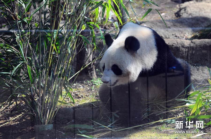"""4月1日,在日本东京上野动物园,大熊猫""""仙女""""与观众见面."""
