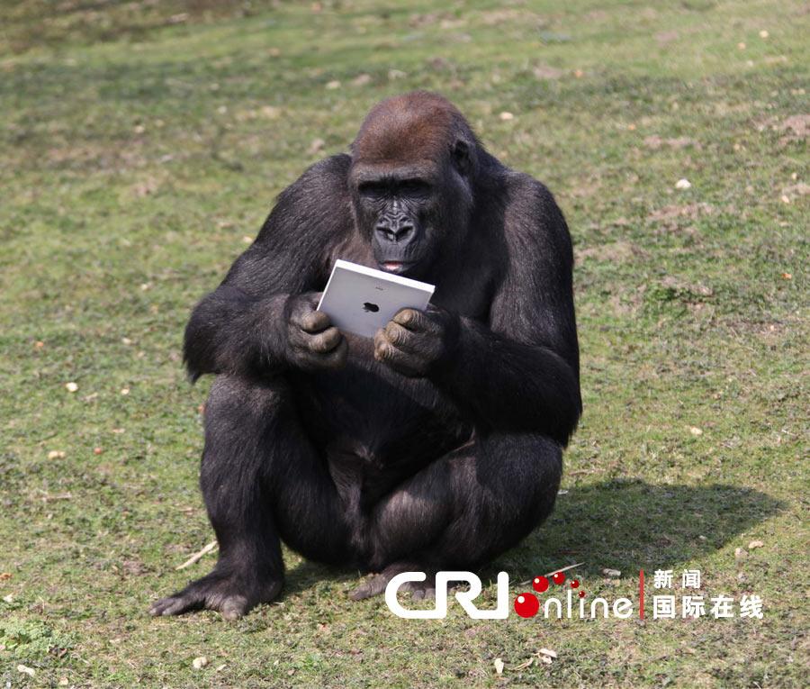 2011年4月1日消息,英国肯特动物园的大猩猩拿着新上市的ipad2平板电脑