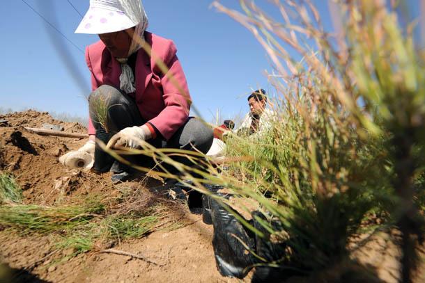 4月11日,岚县堡上村的村民正在地里种植油松幼苗.记者 范敏达 摄-图片