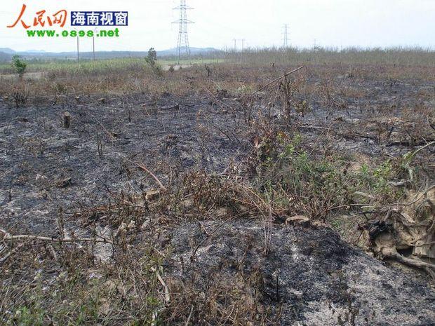 随着木材需求的加大和价格的上涨,儋州地区的盗伐林木和非法收购运输