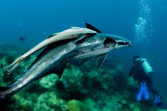 感谢【网友蓝色之心】推荐硕大的灰礁鲨在深海中游弋  由斯皮尔伯格导演的好莱坞大片《大白鲨》描绘了凶残的大白鲨,嗜血成性的大白鲨形象牢牢地刻印在人们脑海里,让原本就对大鲨鱼恐惧无比的人们更是谈鲨色变。但大鲨鱼并不像人们所想象的那样可怕,只要防护得当,就可以和谐相处,与鲨共舞。当然要想让人们颠覆对鲨鱼的恐惧心理,还得要用事实去说话。  记得去年潜水时,我与一条三米长的豹纹鲨邂逅,离它仅有三十公分远,拿.