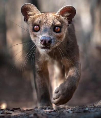 一只成年雌性马岛獴正在马达加斯加岛西部的基林迪