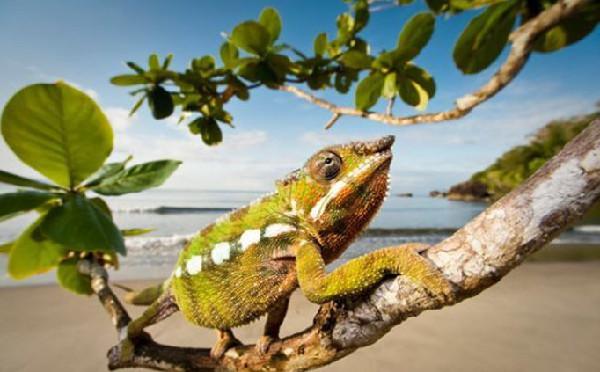 马达加斯加岛是世界上最能体现生物多样性的地方之一。从1991年起,英国摄影师尼克-加尔布特25次前往马达加斯加密林深处探险,拍摄了大量珍稀野生物种照片,这些摄影作品展现了马达加斯加岛惊人的生物多样性和奇异的生态系统。在马达加斯加东北部的马索亚拉国家公园的雨林中发现。   迷你变色龙属于枯叶变色龙,只有指甲盖大小,世上最小的变色龙之一。如此之小以至于它们根本不需要变色就能轻而易举躲过敌人的法眼。