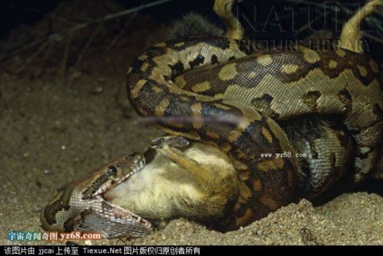 巨型蟒蛇吞人后被解剖-残忍巨蟒活吞绿猴全过程实拍