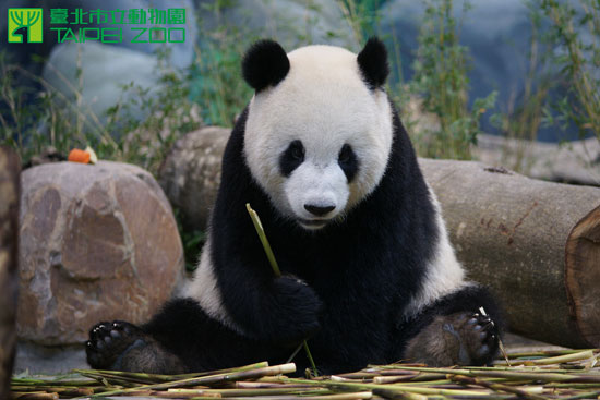 """赠台大熊猫""""团团"""".台北动物园网站"""