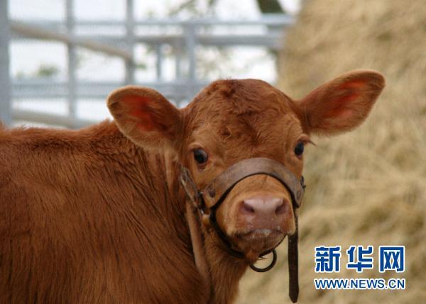 阿根廷培育出转基因世界母牛水上宾馆附近海豚图片