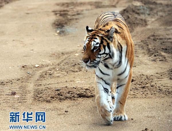"""""""放虎归山"""" 黑龙江东北虎林园首次尝试野外繁殖图片"""