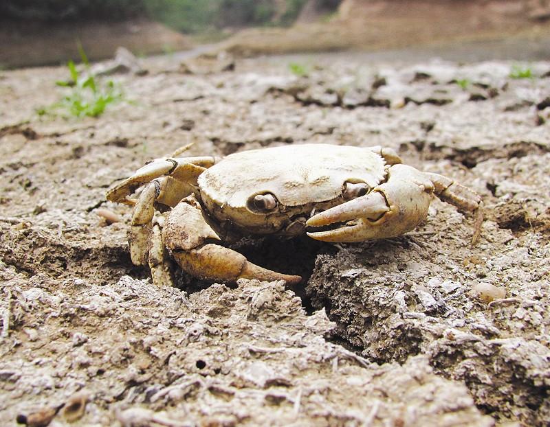 6月13日,在湖北省十堰市郧县刘洞镇的一处水库,一只螃蟹因干涸而死。   据湖北省防汛抗旱指挥部通报,由于降雨带偏南,湖北省呈现出南涝北旱、旱涝并存的格局。截至11日,全省仍有14个市州的54个县市受旱。 (新华社 发)