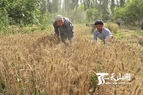 农民在忙着割麦子-叶城县抓紧时间抢收小麦