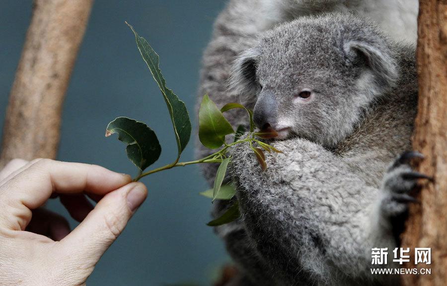 这是6月28日在澳大利亚悉尼一动物园拍摄的考拉。  由于疾病和栖息地减少等原因,考拉的生存环境正面临着严重的威胁。这家动物园目前正计划发起一项筹款活动,以帮助这种可爱的有袋类动物。新华社/路透这是6月28日在澳大利亚悉尼一动物园拍摄的考拉。  由于疾病和栖息地减少等原因,考拉的生存环境正面临着严重的威胁。这家动物园目前正计划发起一项筹款活动,以帮助这种可爱的有袋类动物。新华社/路透这是6月28日在.