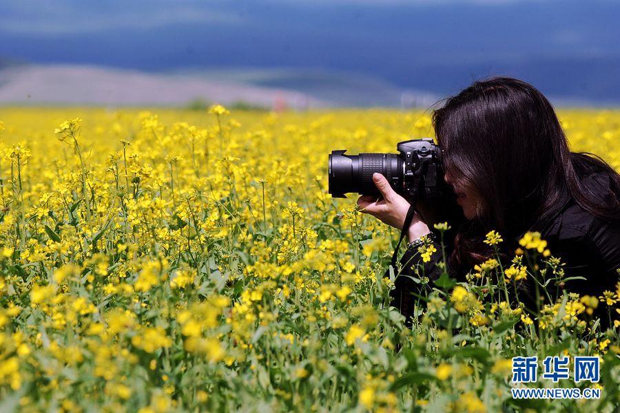 """我们将继续开发新的旅游项目,""""金门源""""这一旅游品牌,一定会成为青海旅游的又一张""""名片""""。门源县委副书记任正德说。   门源油菜花的花期一般持续40天左右,最佳花期是7月10日至25日。   门源县盛开的油菜花(7月2日摄)。7月2日,在青海省海北藏族自治州门源回族自治县,第十二届油菜花文化旅游节开幕。门源县的30万亩油菜花像一匹金色织锦,一望无际,游客徜徉其中,流连忘返。新华社记者 王博"""