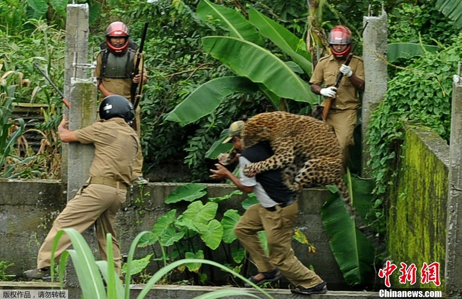 印度美洲豹误闯村庄袭击6人-新闻频道-和讯网