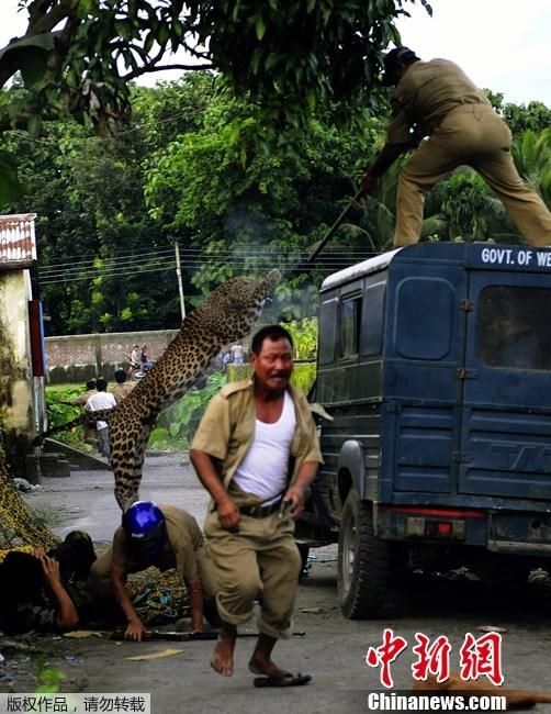 美洲豹vs藏獒谁厉害:
