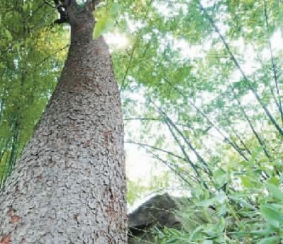 民间使用表明,南川木菠萝树皮和树根对部分皮肤病有较好疗效.